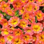 Superbells Coral Sun Petunias